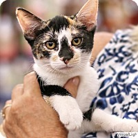 Calico Kitten for adoption in Westchester, California - Cha-Cha
