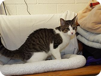 Domestic Shorthair Cat for adoption in Shelby, Michigan - Jensen