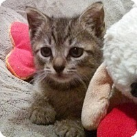 Domestic Shorthair Kitten for adoption in Fort Lauderdale, Florida - Little Annie