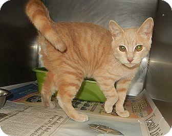 Domestic Shorthair Cat for adoption in Newport, North Carolina - Rover