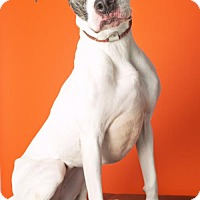 American Pit Bull Terrier Mix Dog for adoption in Roanoke, Virginia - DENALI - Currently in foster