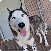Adopt A Pet :: Blueberry--Coming soon! - Carrollton, TX