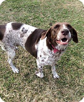 German Shorthaired Pointer/Labrador Retriever Mix Dog for adoption in New Smyrna beach, Florida - Charlotte