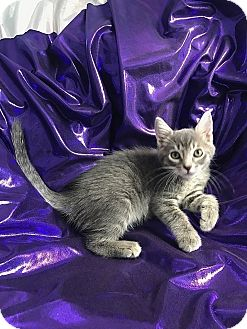 Domestic Shorthair Kitten for adoption in Tampa, Florida - Eiffel