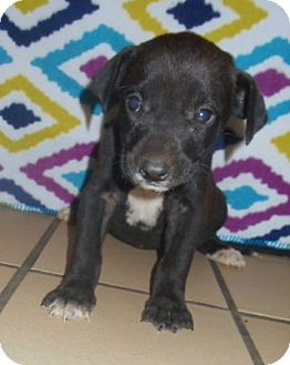 Labrador Retriever/Hound (Unknown Type) Mix Puppy for adoption in Allentown, New Jersey - Lavinia