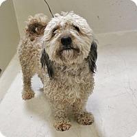 Adopt A Pet :: A20 Mopsy - Odessa, TX