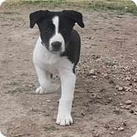Adopt A Pet :: Mickey - Henderson, NV
