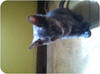 Domestic Shorthair Cat for adoption in Clay, New York - young adults Extra Toes