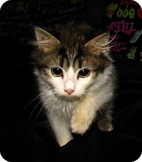 Domestic Mediumhair Cat for adoption in Norwich, New York - Minnie