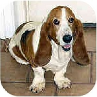 Adopt A Pet :: Savanah - Phoenix, AZ