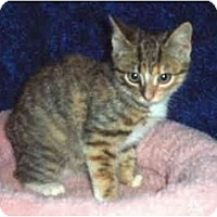 Adopt A Pet :: Bengal Spice - Colmar, PA