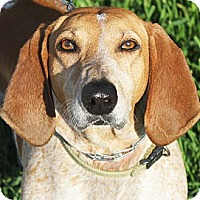 German Shorthaired Pointer/Hound (Unknown Type) Mix Dog for adoption in Huntley, Illinois - Penny