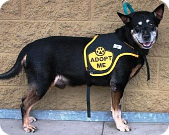 Australian Kelpie Mix Dog for adoption in Gilbert, Arizona - Ralph Lauren