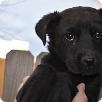 Adopt A Pet :: Kara - Westminster, CO