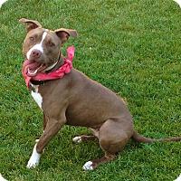 American Staffordshire Terrier/Pit Bull Terrier Mix Dog for adoption in Burbank, California - Pretty Shunka-VIDEO