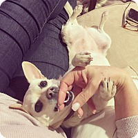 Chihuahua Mix Dog for adoption in Lomita, California - Abbey