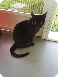 Domestic Shorthair Cat for adoption in Boca Raton, Florida - Amanda