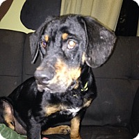 Adopt A Pet :: Dillon - Tomah, WI