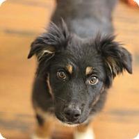 Adopt A Pet :: Dimetri - Austin, TX