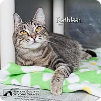 Domestic Mediumhair Cat for adoption in Fort Mill, South Carolina - Kathleen 5586