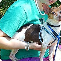 Chihuahua/Terrier (Unknown Type, Small) Mix Dog for adoption in SUSSEX, New Jersey - Jasper (8 lb) Great Family Pet