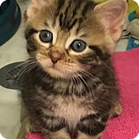 Adopt A Pet :: Maple - Orlando, FL
