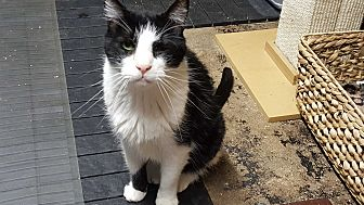 Domestic Shorthair Cat for adoption in Pasadena, California - Boom Boom