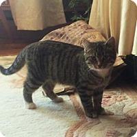 Domestic Shorthair Cat for adoption in Trenton, New Jersey - Darla Sue (Spanky)