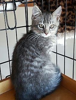 Domestic Mediumhair Kitten for adoption in San Fernando Valley, California - Tucker