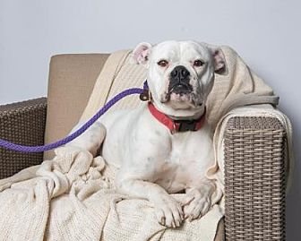 American Bulldog/American Bulldog Mix Dog for adoption in Santa Paula, California - Lili
