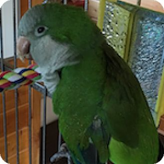 Parakeet - Quaker for adoption in Asheville, North Carolina - Eli