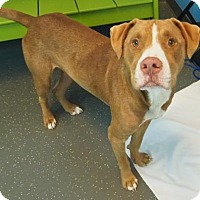 Pit Bull Terrier Mix Dog for adoption in New Orleans, Louisiana - Blue