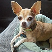 Chihuahua Dog for adoption in Earl, North Carolina - Bacchus