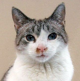Ragdoll Cat for adoption in New York, New York - Heidi