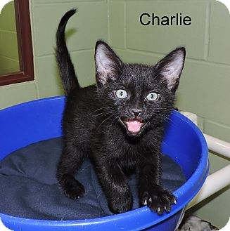 Domestic Shorthair Kitten for adoption in Slidell, Louisiana - Charlie