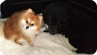 Pomeranian Dog for adoption in staten Island, New York - Teddy
