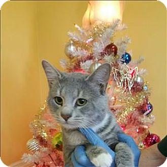 Domestic Shorthair Cat for adoption in Dallas, Georgia - 16-11-3597 Peter