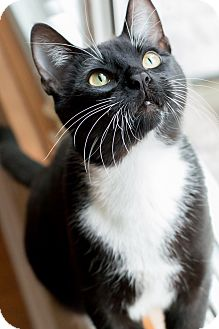 Domestic Shorthair Cat for adoption in Chicago, Illinois - James
