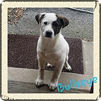 Adopt A Pet :: Bullseye (DC) - Harrisonburg, VA