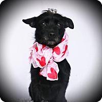 Adopt A Pet :: Lavern - Carrollton, TX