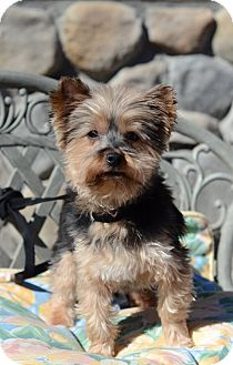 Yorkie, Yorkshire Terrier Dog for adoption in RENO, Nevada - NIKKI