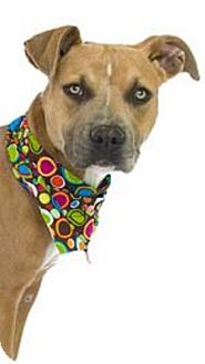 American Pit Bull Terrier Dog for adoption in Orlando, Florida - Harp
