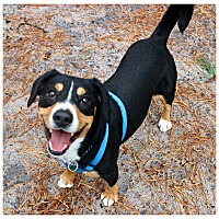 Adopt A Pet :: Jack - Forked River, NJ