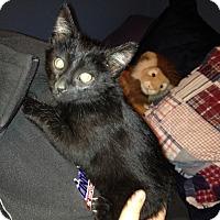 Adopt A Pet :: Onyx - Bentonville, AR