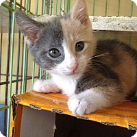 Adopt A Pet :: Checkers - Island Park, NY