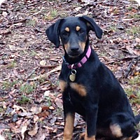 Adopt A Pet :: Mazie-pending adoption - Manchester, CT