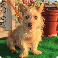 Adopt A Pet :: Skylark - Corona, CA