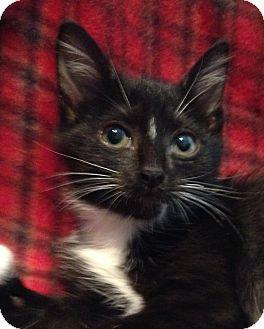 Domestic Shorthair Kitten for adoption in Houston, Texas - Lola
