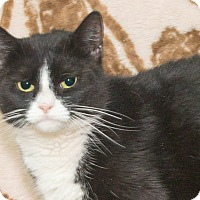 Domestic Shorthair Cat for adoption in Elmwood Park, New Jersey - Paris