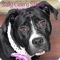 Adopt A Pet :: Sally Celery Sticks - Troy, MI